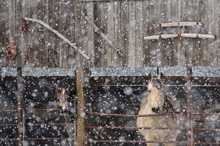 Snow falling on in animal in a ranch