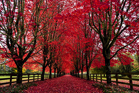 Red trees surrounding a fenced trail