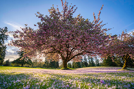 Large purple flowered tree in bloom illuminated by the sun